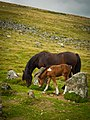 Dartmoor ponies. (43613314294).jpg