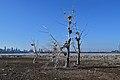 Dead trees - Tommy Thompson Park.jpg