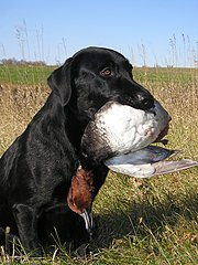 Dealer the Labrador Retriever and a redhead duck.jpg