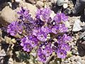 Death Valley Flowers 07 (2341404000).jpg