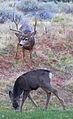 Deer Rut (6345021046).jpg