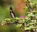 Denaid Eggfly (Hypolimnas misippus) on Portulacaria afra W IMG 1473.jpg