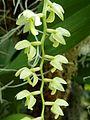 Dendrochilum latifolium Emily - Flickr - treegrow.jpg