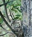 Dendroica petechia4.jpg