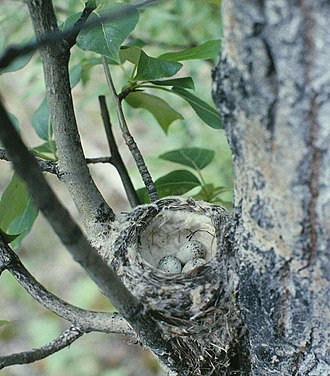 American yellow warbler - Yellow warbler nest with small clutch