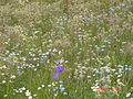 Deosai Flower bed.JPG
