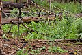 Descurainia incisa - Flickr - aspidoscelis (1).jpg