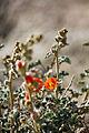 Desert globemallow (Sphaeralcea ambigua) (14399190215).jpg