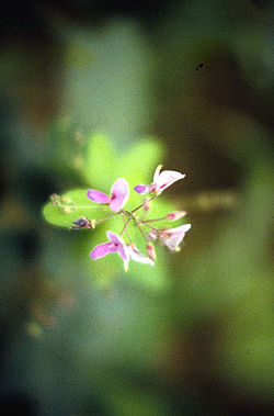 meaning of desmodium