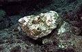Devil scorpionfish Scorpoaenopsis diabolus.jpg