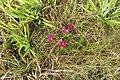 Dianthus barbatus L. (AM AK362181-2).jpg
