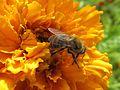 Die fleißige Biene - panoramio.jpg