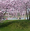 Die japanische Kirschblüte (桜 sakura) steht für Schönheit, Aufbruch und Vergänglichkeit. - panoramio.jpg