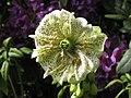 Digitalis purpurea (Pseudo-Pelorie)-3.jpg