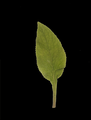 Digitalis purpurea leaf.png