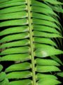 Dioon spinulosum 3.jpg