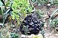 Dioscorea elephantipes Teplice.JPG