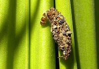 Diplodoma laichartingella caterpillar in case.jpg