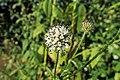 Dipsacus pilosus kz15.jpg