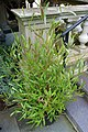 Dodonaea viscosa 'Purpurea' Pot 2000px.jpg
