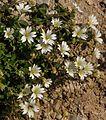 Dolomites - Dobbiaco area - Day 5 to Tre Cime (Drei Zinnen) - dry alpine flowers (11059323726).jpg