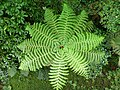 Dominica, Karibik - Giant Ferns from above - panoramio.jpg