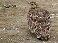 Double-banded Sandgrouse (Pterocles bicinctus) female (6041670326).jpg