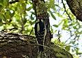 Downy Woodpecker Picoides pubescens jk (24232685247).jpg