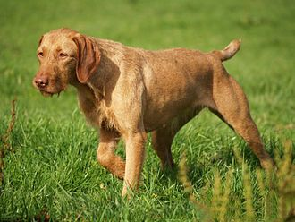 Wirehaired Vizsla - A Wirehaired Vizsla