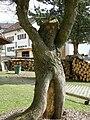 Drachselsried-tree-Bayerischer Wald.jpg