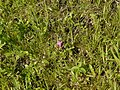 Drosera indica L. (21838587416).jpg