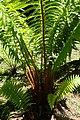 Dryopteris affinis kz3.jpg