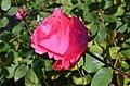 Duftrosengarten - Susan Hampshire TH Meilland 1974 2012-11-04 12-59-51.JPG