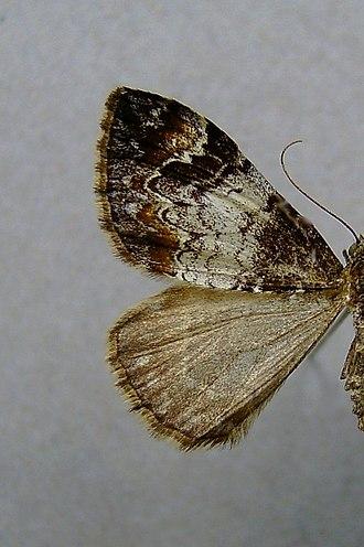 Common marbled carpet - Image: Dysstroma truncata