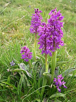Early-purple Orchids flowering in Cressbrook Dale - geograph.org.uk - 1383140