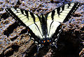 Eastern Tiger Swallowtail (Papilio glaucus) (6932581794).jpg