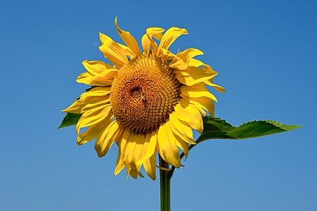 Sunflower at a field in Köcking, Eberndorf, Carinthia, Austria