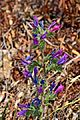 Echium plantagineum003.JPG