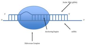 RNA editing - The Editosome Complex