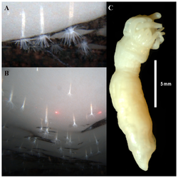 Edwardsiella andrillae, a New Species of Sea Anemone from Antarctic Ice.png