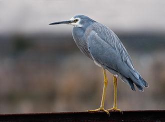 White-faced heron - Non-breeding plumage