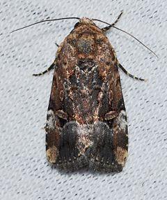 240px elaphria chalcedonia %e2%80%93 chalcedony midget moth (14646926585)