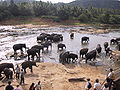 Elefanten pinawela 1.jpg