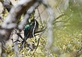 Elegant Trogon (male) (34018889475).jpg