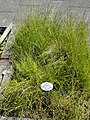 Eleocharis palustris - Botanical Garden, University of Frankfurt - DSC02700.JPG