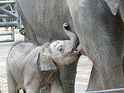 180px-Elephant_breastfeading