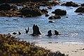 Elephant seals (15359899651).jpg