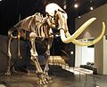 Elephas primigenius 7.JPG