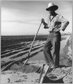 Eloy District, Pinal County, Arizona. Mexican irrigator. He came from Mexico 12 years ago, works the . . . - NARA - 522190.tif