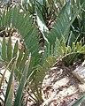 Encephalartos cupidus KirstenboshBotGard09292010B.jpg